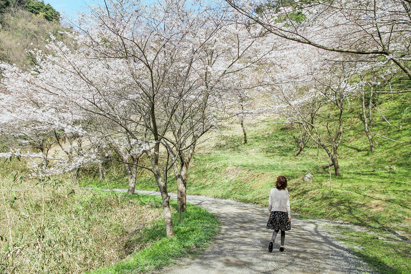 味⾒峠桜公園の桜