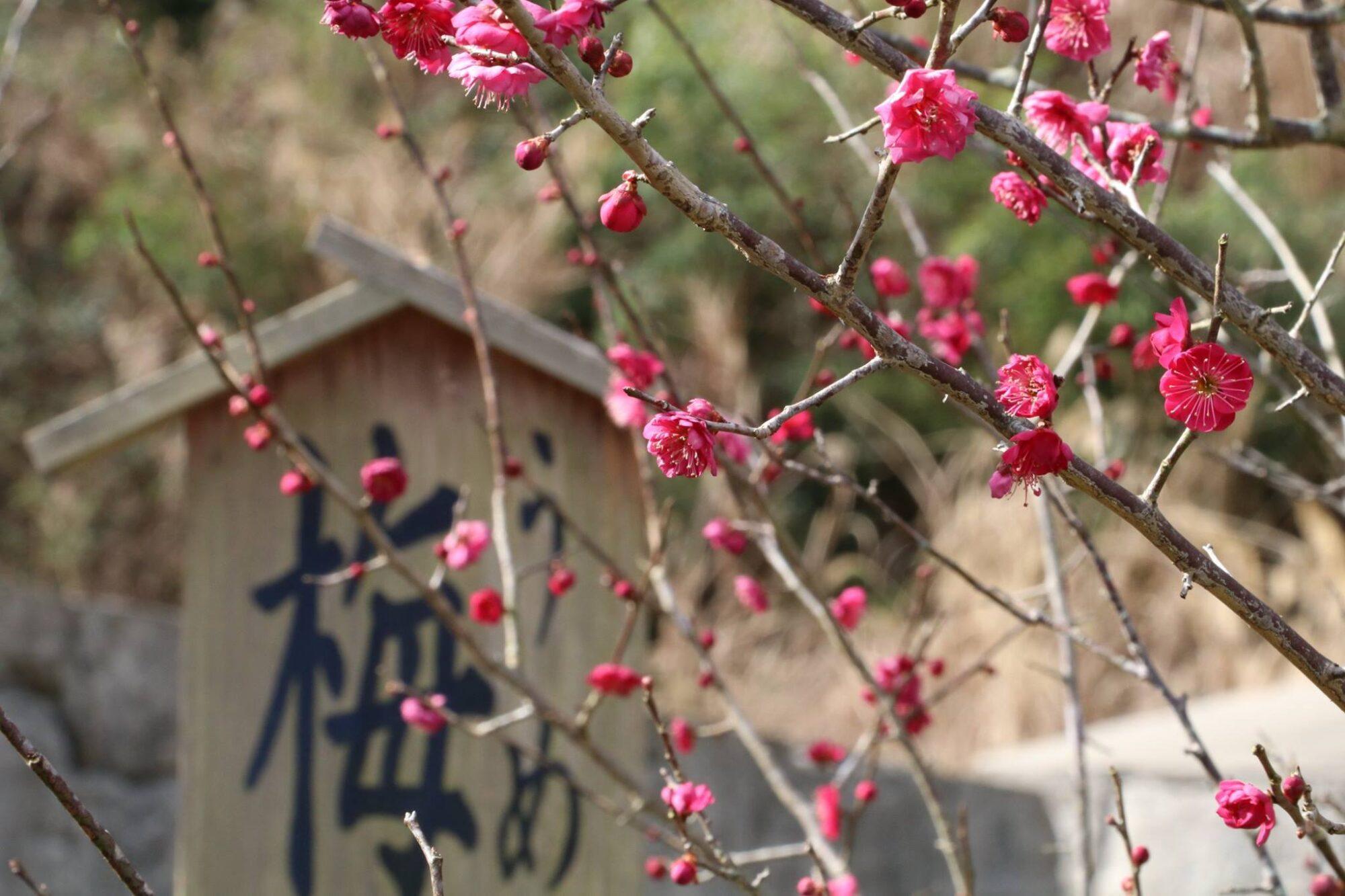 道の駅⾹春梅祭り