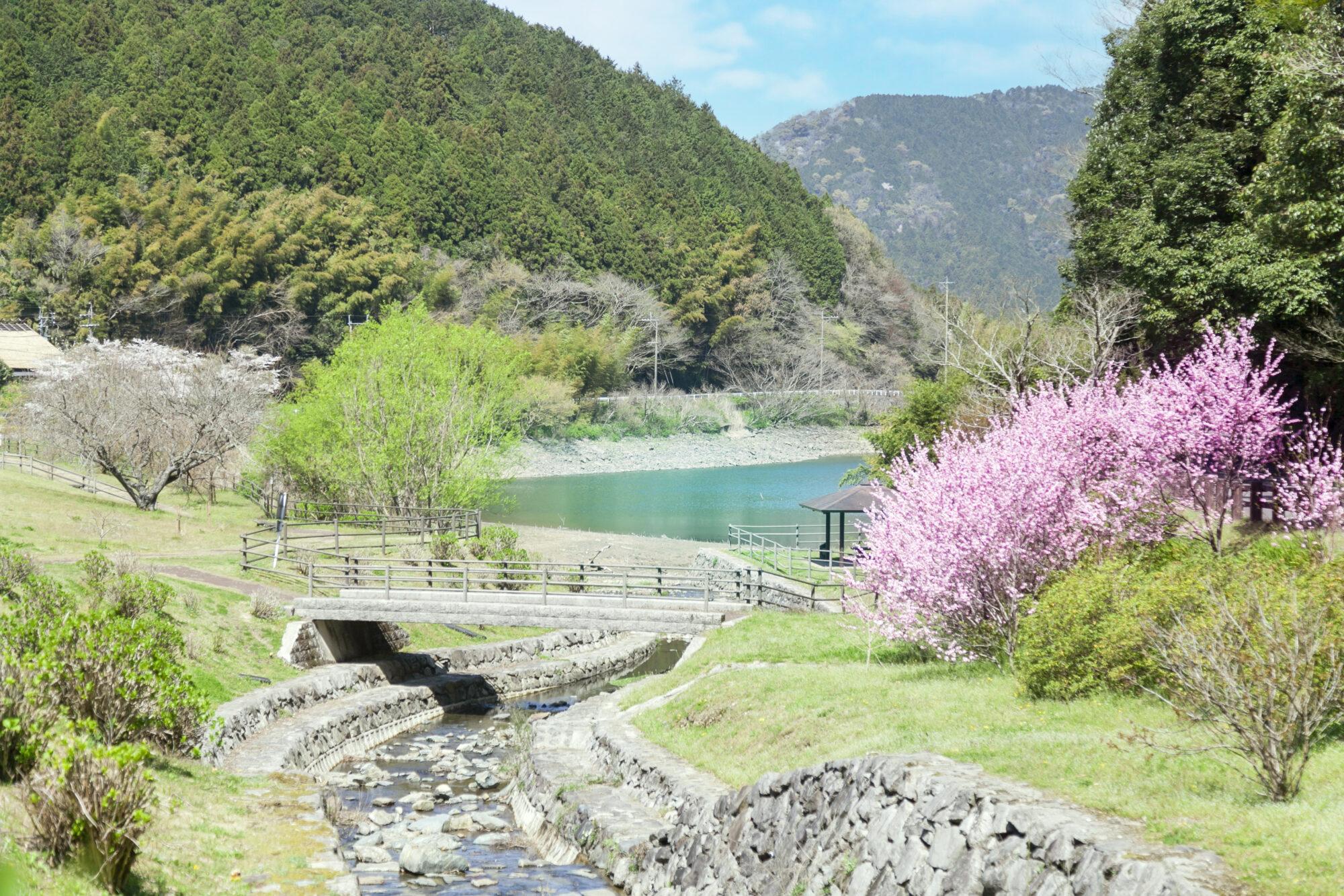 呉ダム渓流公園の桜