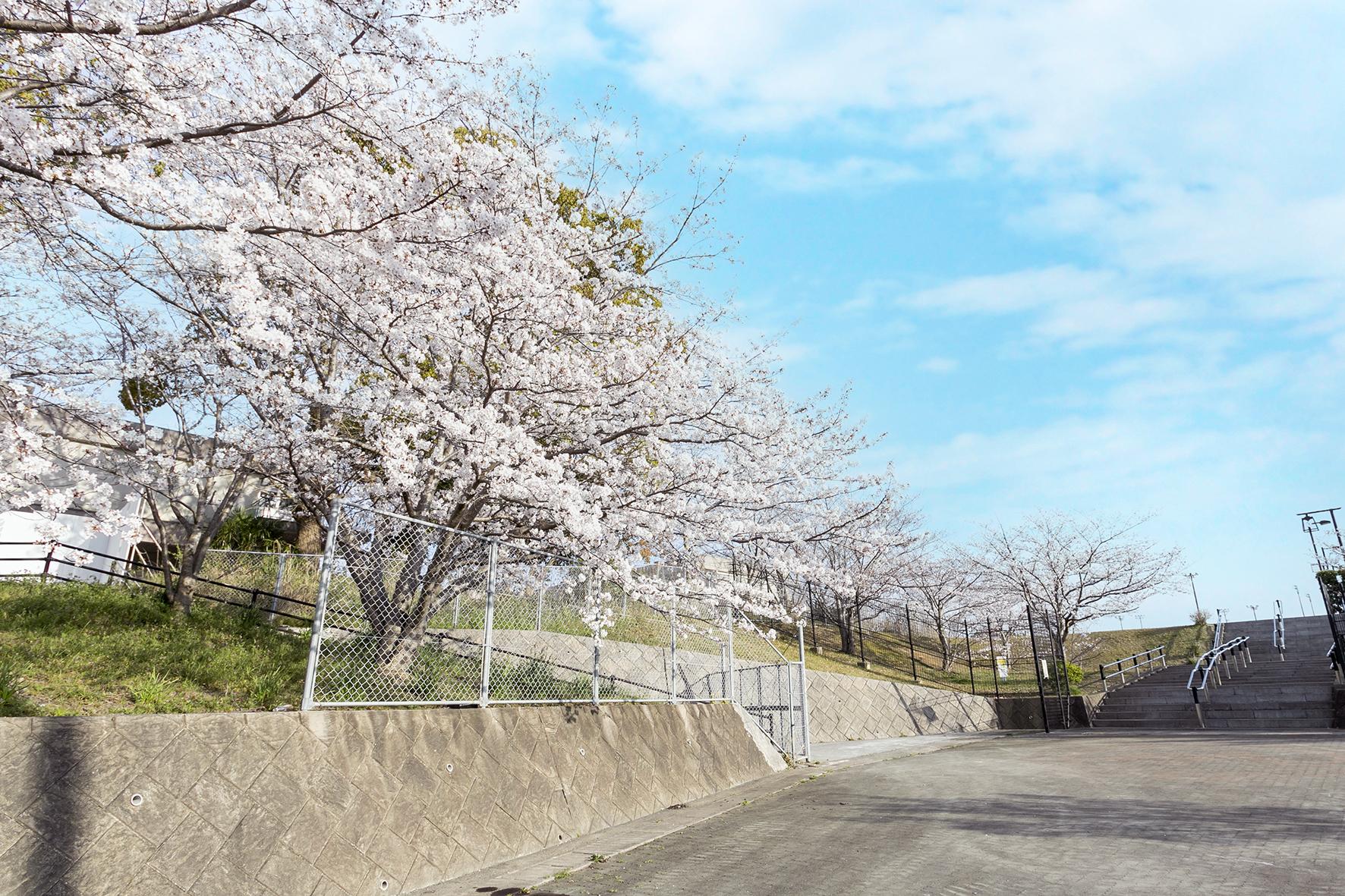 香春町総合運動公園の桜