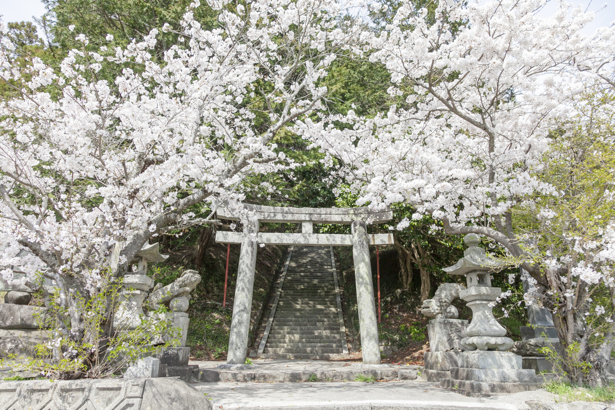 鏡⼭⼤神社の桜