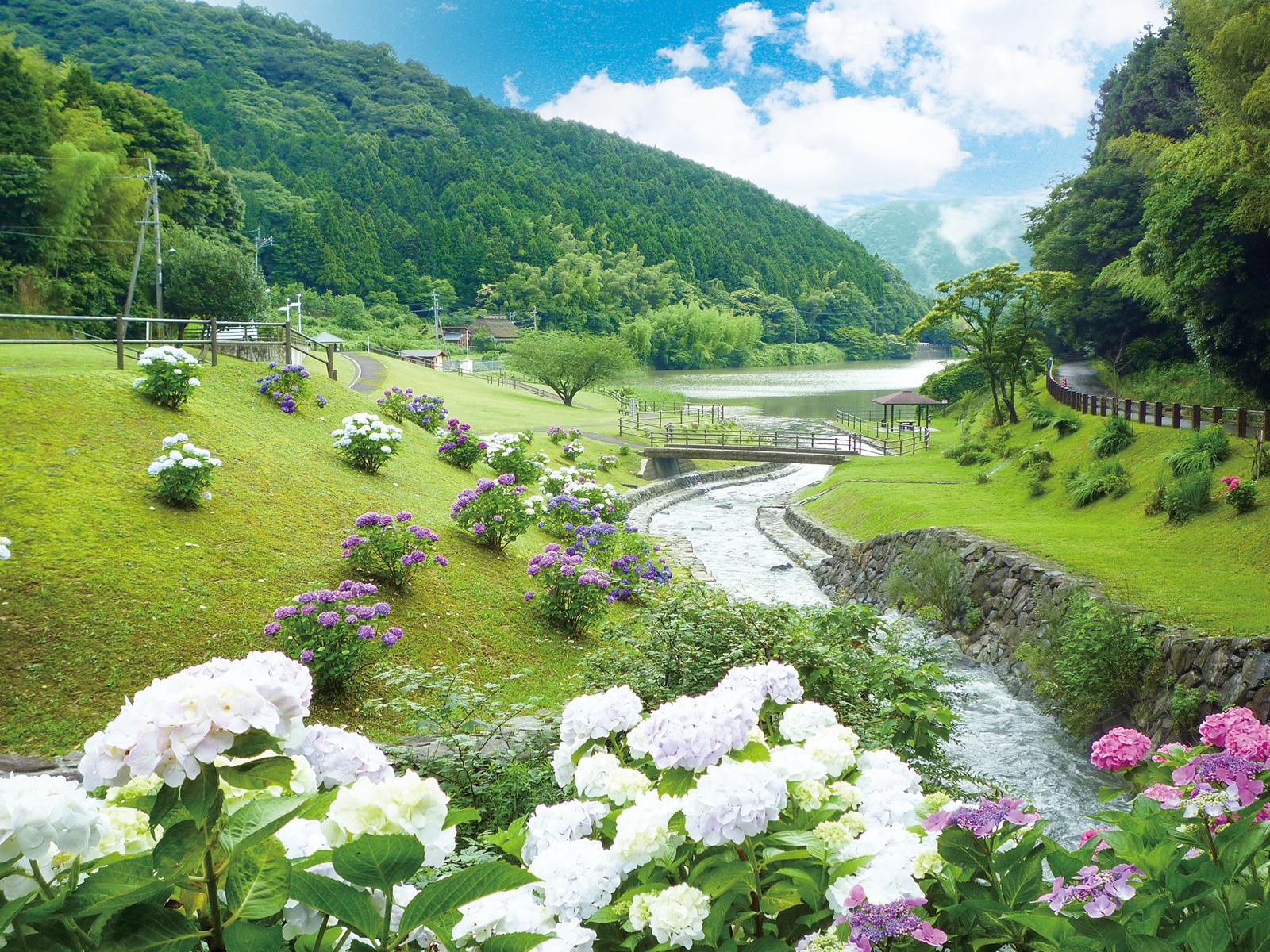 呉ダム渓流公園の紫陽花